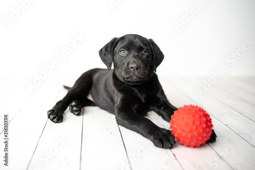 Canvas Print Black Labrador retriever puppy on a white background with a red ball