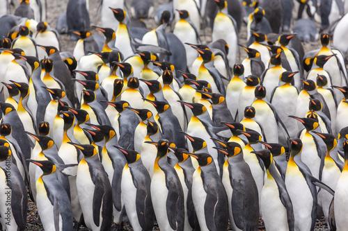 Wallpaper Mural Group of King Penguins, South Georgia