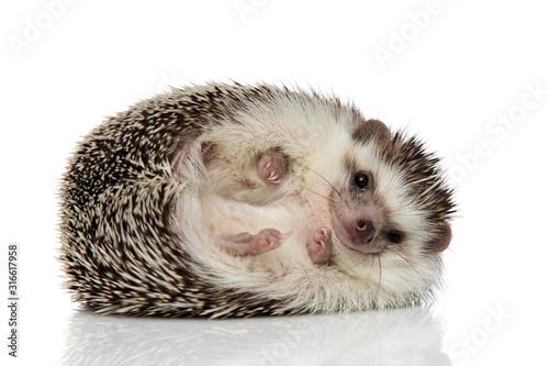 Fotografie, Tablou african hedgehog with black fur rolling over happy
