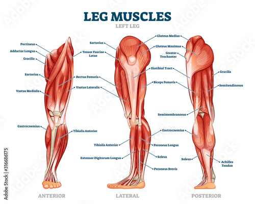 Leg muscle anatomical structure, labeled front, side and back view diagrams Fotobehang