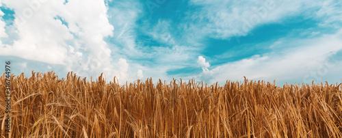 Foto Ripe barley field