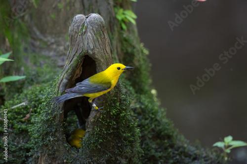 Fototapeta Prothonotary Warbler