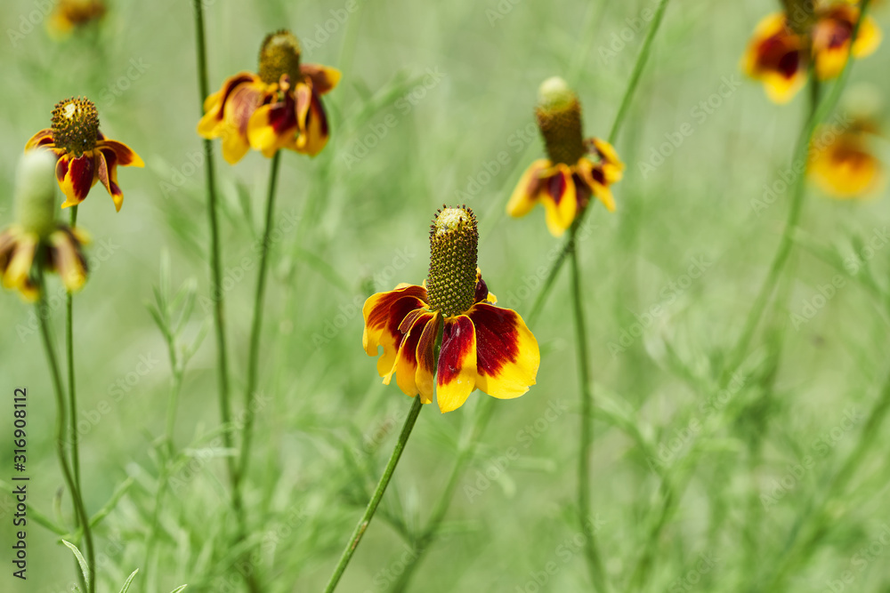 Mexican Hat, Upright Prairie Coneflower, Thimbleflower, Red and Yellow Flowers in a Open Prairie