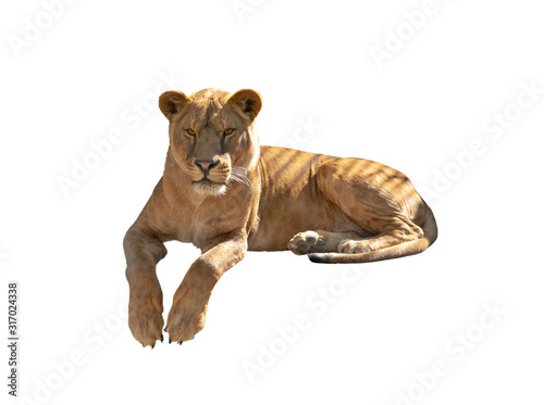 Stampa su Tela lioness isolated on a white