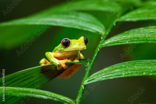 Fotografie, Obraz Gliding tree frog (Agalychnis spurrelli) is a species of frog in family Hylidae