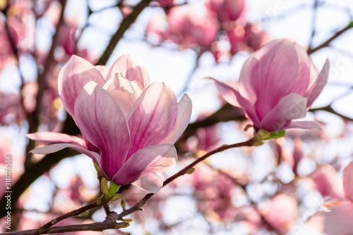 Fotografia magnolia tree blossom in springtime