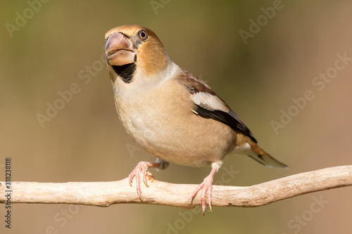Hawfinch (Coccothraustes coccothraustes) passerine bird in finch family, close u Fototapet