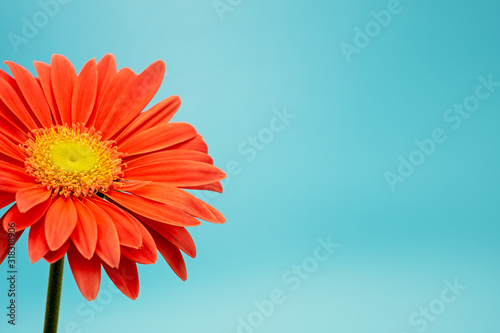Obraz na plátně partial view of a gerbera flower, Asteraceae, isolated on turquoise background