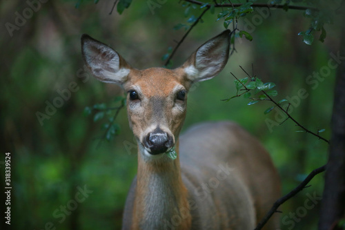 Photo white-tailed deer in the forest eating leaves