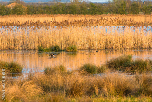 Canvas Print The warm evening sun hits reed beds at Wicken Fen Nature Reserve in Cambridgeshire, East Anglia, England, UK