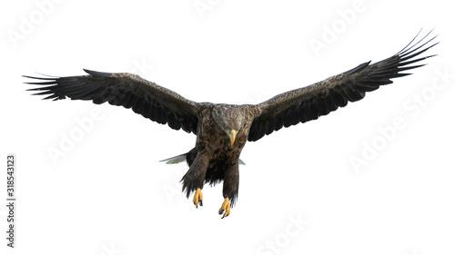 Obraz na płótnie Adult White-tailed eagle in flight