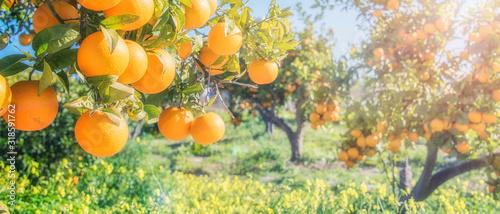 Foto orange trees plantations