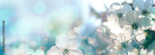 Canvastavla Beautiful cherry tree with tender flowers. Amazing spring blossom