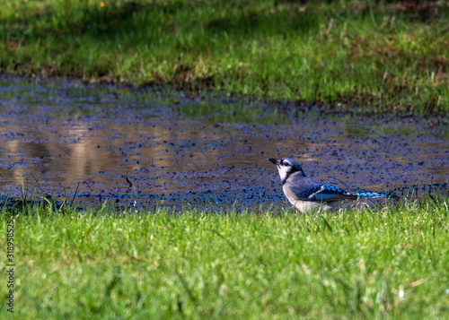 Wallpaper Mural Blue Jay on a sunny day!