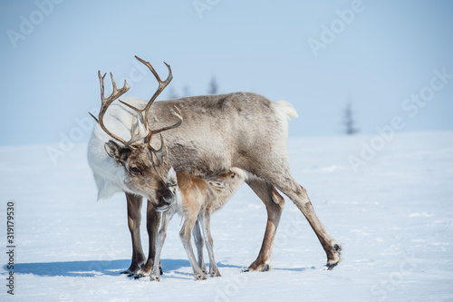 Valokuvatapetti reindeer in the spring, female reindeer with offspring