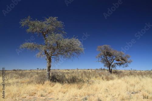 afrykańskie drzewa stojące wśród wyschniętych traw na sawannie w porze suchej