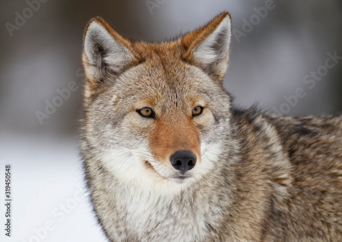 Foto A lone coyote (Canis latrans) closeup in winter snow in Canada
