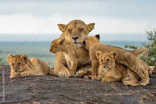Fototapeta Lion Pride Babies Loving Mama Lion - Maasai Mara National Park, Kenya