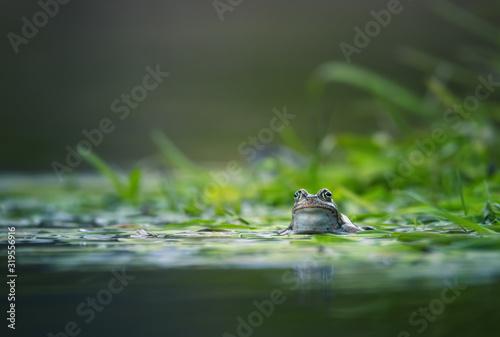 Obraz na plátně frog on green pond