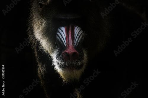 Tela Close-Up Of Mandrill Against Black Background