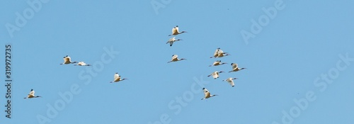 Low Angle View Of Birds Flying Against Clear Blue Sky
