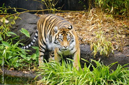 Fotomural Portrait Of Tiger On Field