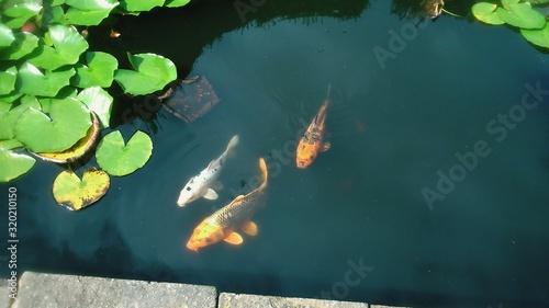 Fotografie, Obraz High Angle View Of Koi Carps Swimming In Pond