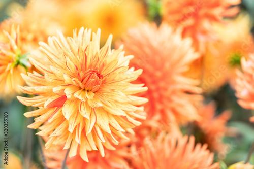 Fotografering Macro of a yellow dahlia