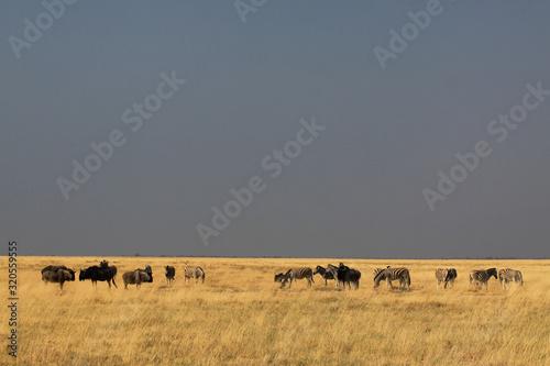 afrykańskie zwierzęta pasące się na wyschniętych trawach sawanny