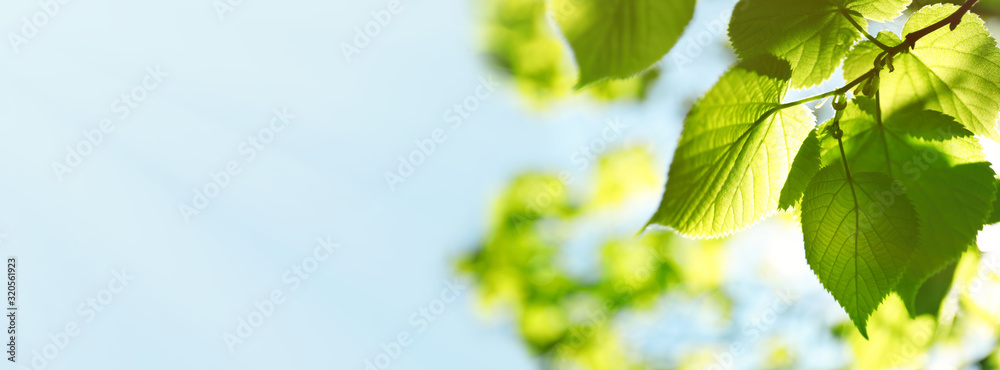 Tree branch with green leaves on sunny day. Springtime <span>plik: #320561923 | autor: New Africa</span>