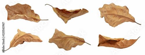 Obraz na plátne dry leaf or dead leaf isolated on white background
