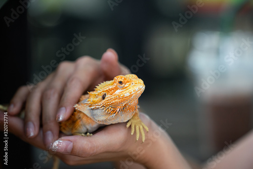 Wallpaper Mural An yellow bright colorful iguana lizard which is holding on the people hand, It's exotic pet