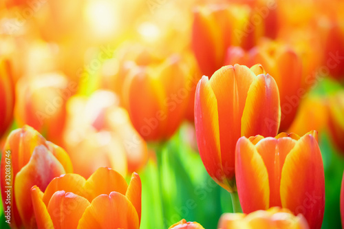 Fresh colorful tulips flower bloom in the garden