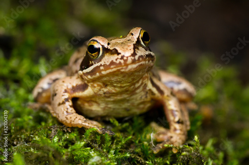 Photo European grass frog (Rana temporaria) on forest floor close-up
