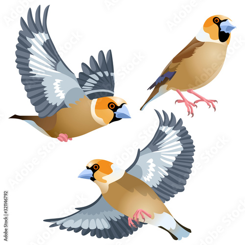 Three poses of natural looking birds hawfinch Fototapet