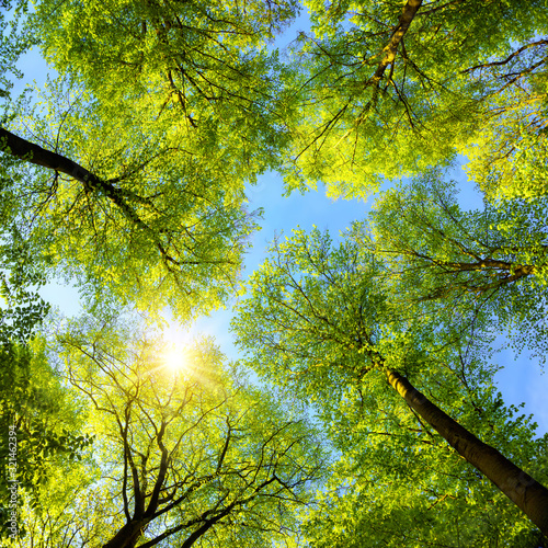 Canvas Print Green treetops, the sun and blue sky