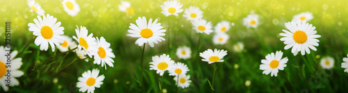 Fotografering Summer field with white daisy flowers . Flowers background.