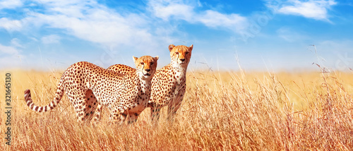 Cheetah in the African savannah. Africa, Tanzania, Serengeti National Park. Banner design. Wild life of Africa.