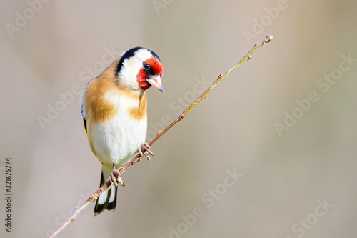 Fotografiet European Goldfinch, Carduelis carduelis, small colorful bird sitting alone on a