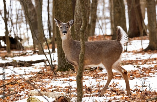 Canvas Print White tailed deer, doe and fawn near city park in Wisconsin