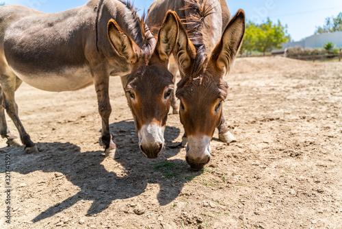 Fotografie, Obraz Two donkeys