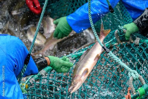 Obraz na płótnie fishermen capturing salmon with net in Rausu, Hokkaido, Japan