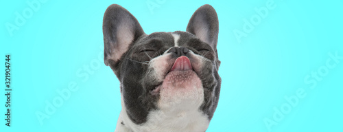 Obraz na plátně happy little french bulldog puppy is sticking out its tongue with eyes closed