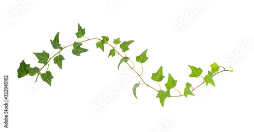 Fotografia green ivy isolated on a white background.