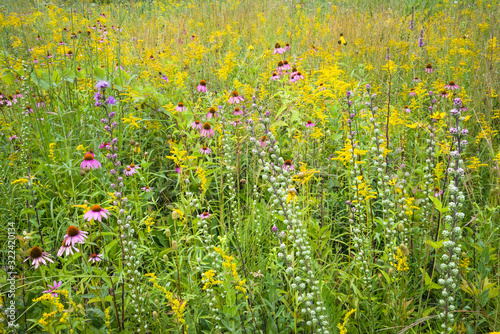 Fotografie, Obraz Coneflowers, goldenrod and blazing star combine to create a bouquet of native wildflowers in a restored prairie