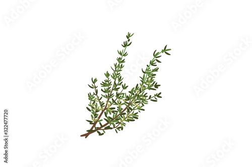 Fototapeta Fresh thyme sprigs, spice, close-upvector illustration isolated on white backgro