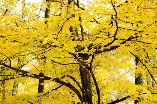 Żółte liście na drzewie jesień