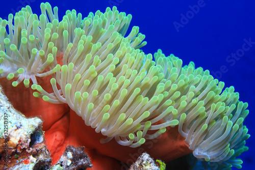 Fotografía Magnificent sea anemone