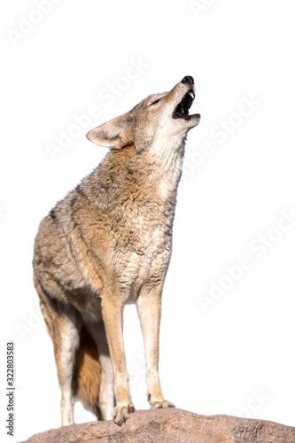 Vászonkép Howling Coyote
