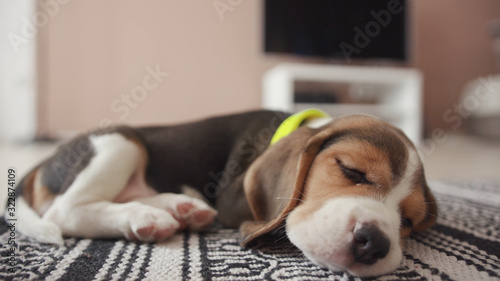 Fotografie, Obraz Hound beagle dog peacefully sleeping on a comfort grey blanket on the floor